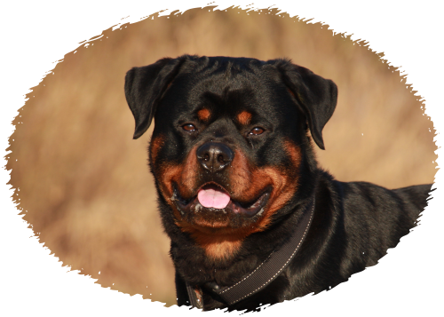 Punch's Puppies | Rottweiler Puppies For Sale Woodburn