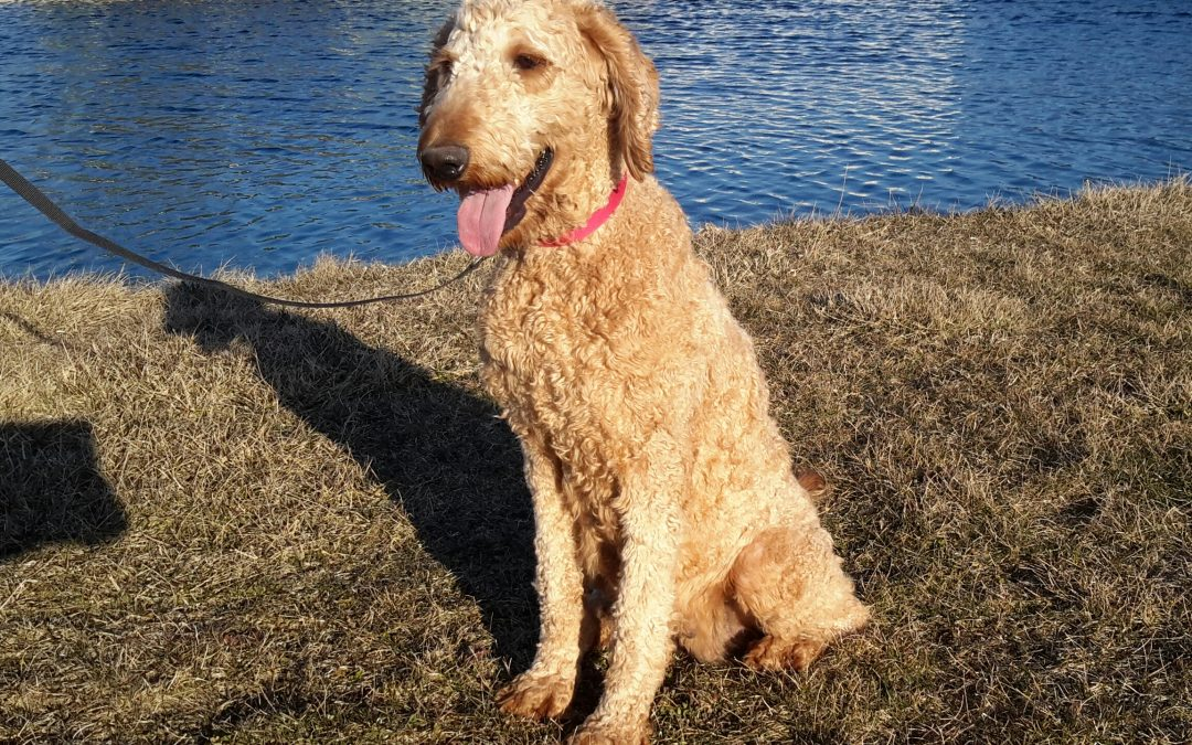 Dolly, our Goldendoodle female,  very sociable and is a great mother