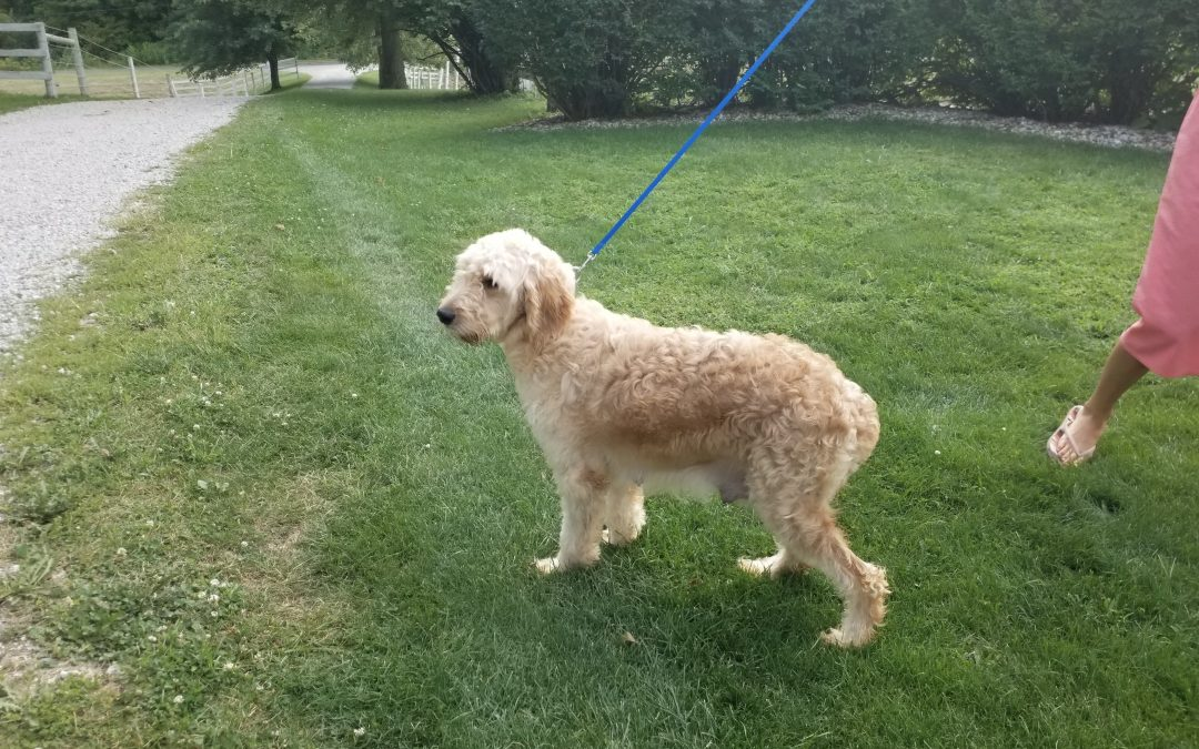 Cara, our Goldendoodle female,  very sociable and is a great mother