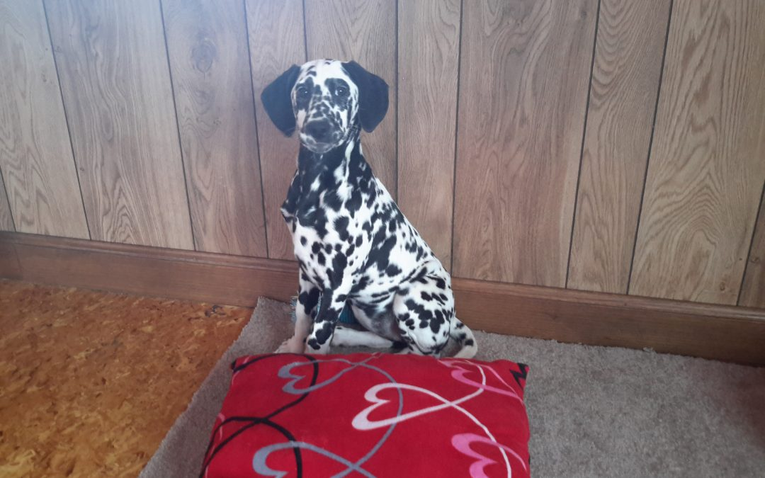 Opal , AKC,  registered black and white dalmation female
