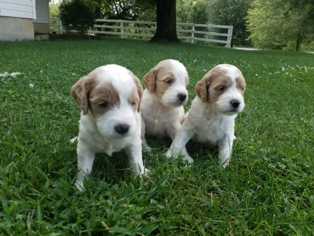 F1B goldendoodle male and female puppies,  white with red markings, utd on deworming and vaccinations and will be vet checked and ready  for adoption  at 8 weeks  of age,  $SOLD