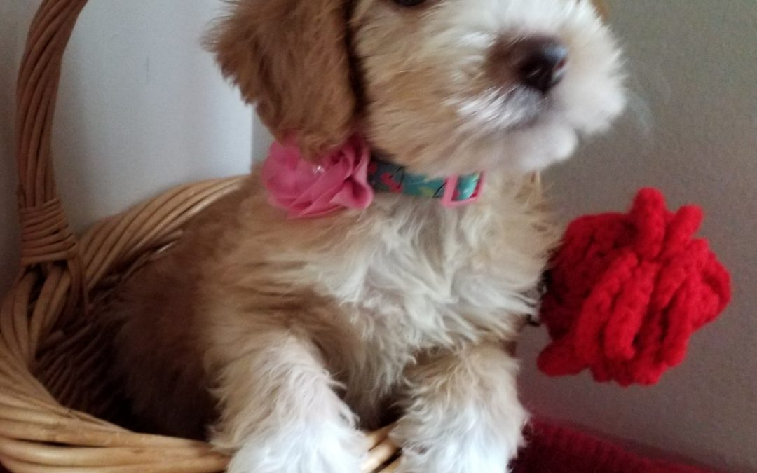 Makenzie, 8 weeks old, F1B labradoodle female puppy, dewormed,vaccinated, microchipped, vet checked, 1 year health guarantee,  $ 800