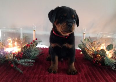 Dakota, AKC registered, black and mahogany, German rottweiler male puppy, dewormed and vaccinated, microchipped, vet checked and healthy, 1 year health guarantee,  $ SOLD