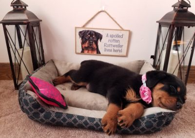 Angel,  AKC registered German rottweiler female puppy, dewormed,vaccinated, microchipped, vet checked and  healthy, 1 year health guarantee, $ SOLD