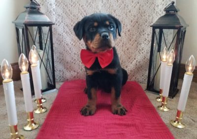 Velvet, AKC registered German rottweiler female puppy, dewormed and vaccinated, microchipped, vet checked and is healthy!  $ SOLD