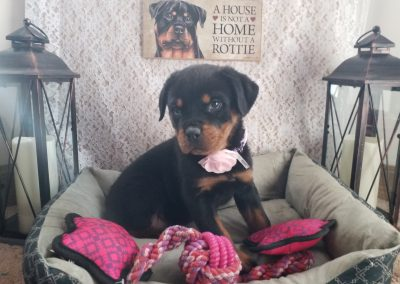 Scarlett, AKC registered German rottweiler female puppy, dewormed, vaccinated, microchipped, vet checked and healthy, $ SOLD