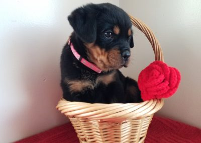 Jada, AKC registered German rottweiler female puppy, dewormed, vaccinated, microchipped, vet checked and healthy, $ SOLD