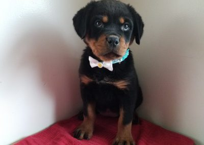 Emy,   AKC registered German rottweiler female puppy, dewormed,vaccinated, microchipped, 1 year  health guarantee, vet checked and healthy and is used to interacting with children and other pets,  $ SOLD