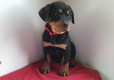 Olivia, AKC registered German rottweiler female puppy, dewormed, vaccinated, microchipped, vet checked and healthy, 1 year  health guarantee,  $ 900