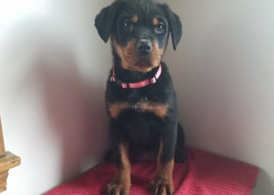 Eva, AKC registered German rottweiler female puppy, dewormed, vaccinated, microchipped, vet checked and healthy, 1 year health guarantee,  $SOLD