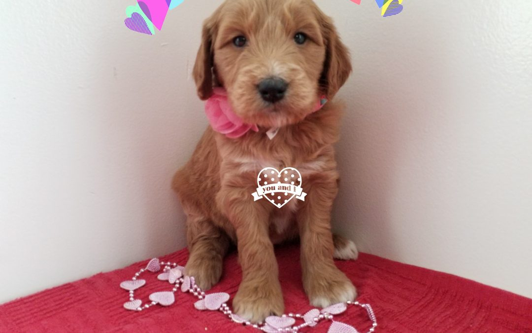 Angelica, F1 goldendoodle female puppy, dewormed, vaccinated, microchipped, vet checked, 1 year  health guarantee, hypoallergenic, non shedding, $ SOLD
