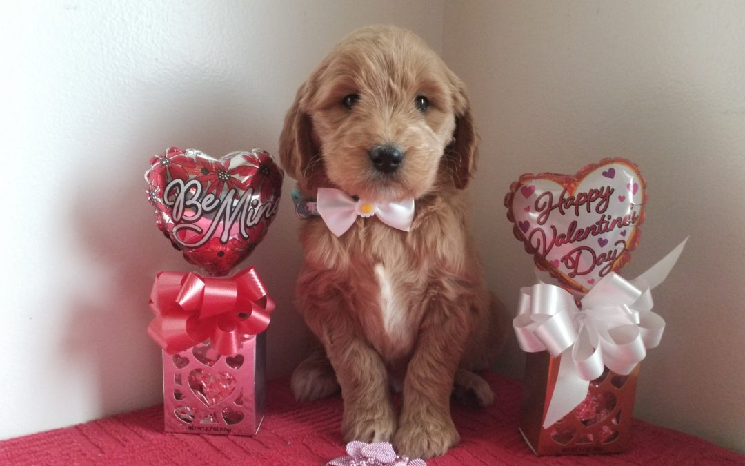 Princess, F1 goldendoodle female puppy, dewormed, vaccinated, microchipped, vet checked, hypoallergenic, non shedding, 1 year health guarantee…..$ 750