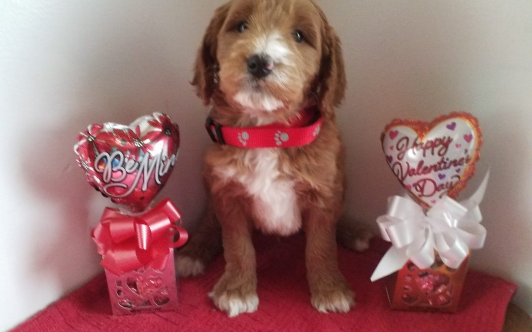 Ace, F1 goldendoodle male puppy, dewormed, vaccinated,microchipped, vet checked, hypoallergenic, non shedding, $ 650