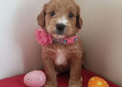 Angel, miniature ,F1 goldendoodle, dewormed, vaccinated, microchipped, vet checked, hypoallergenic, non shedding, $ SOLD