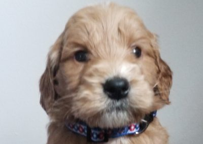 Ace, miniature, F1 male goldendoodle puppy, dewormed, vaccinated, microchipped, vet checked,  1 year health guarantee, hypoallergenic, non shedding, $ SOLD
