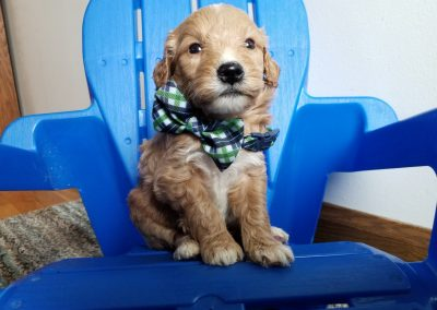 Scout, miniature, F1 goldendoodle male puppy, dewormed, vaccinated, microchipped, vet checked, hypoallergenic, non shedding, $ SOLD
