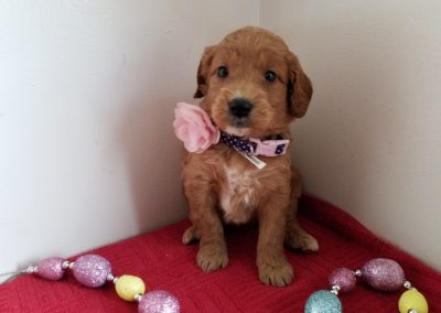 Mia, miniature, F1 goldendoodle female puppy, dewormed, vaccinated, microchipped, vet checked, hypoallergenic, non shedding, 1 year health guarantee,  $ SOLD
