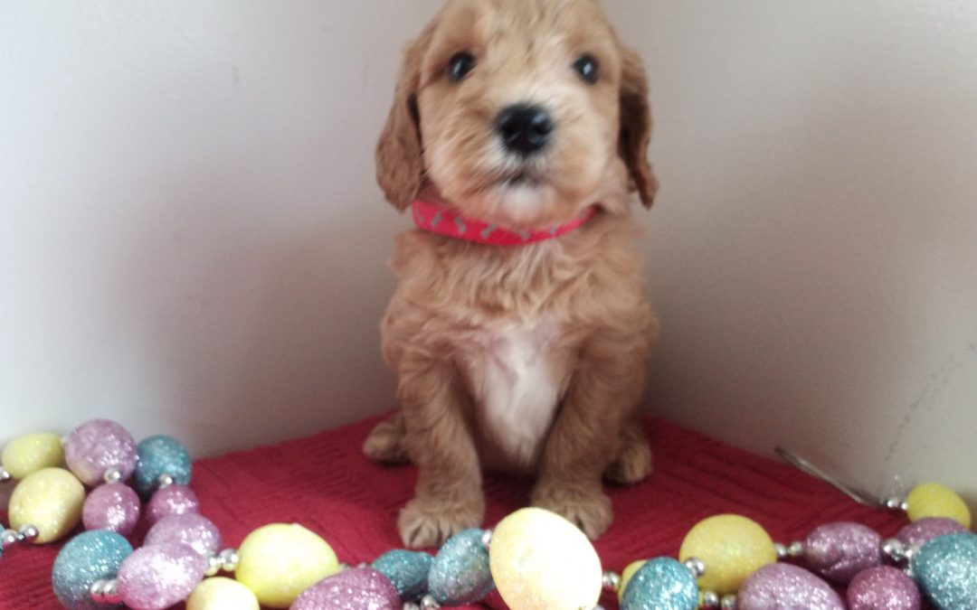 Liam, miniature F1 goldendoodle male puppy, dewormed, vaccinated, microchipped, vet checked, hypoallergenic, non shedding, 1 year health guarantee, $ SOLD