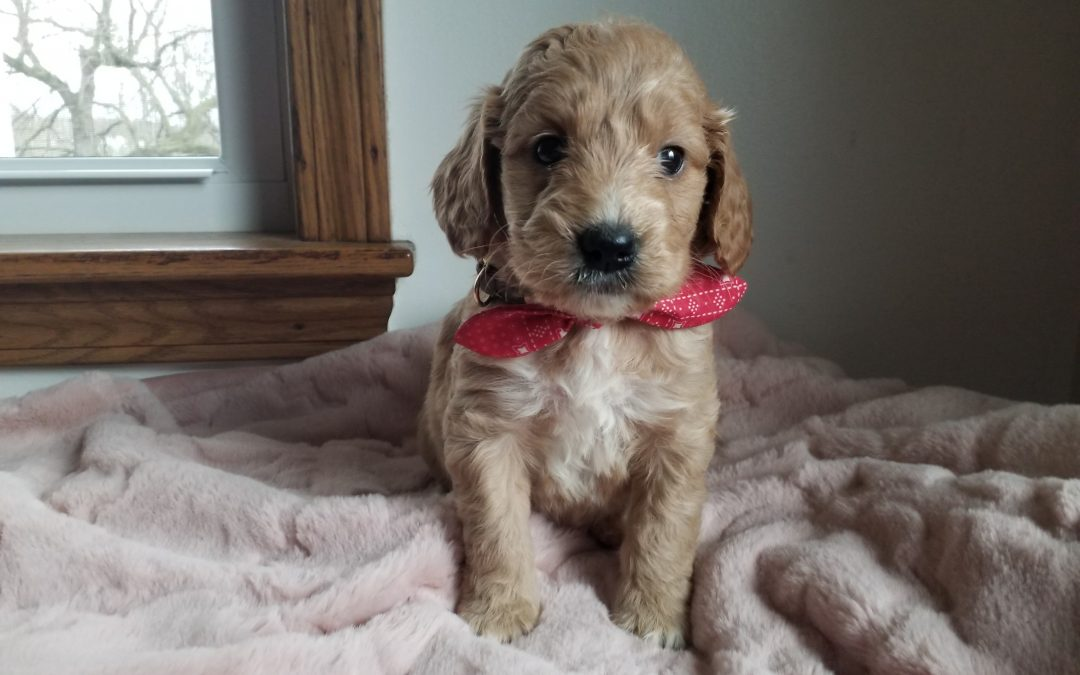Faith, miniature F1 goldendoodle female puppy, dewormed,vaccinated, microchipped, vet checked, hypoallergenic, non shedding, and will be vet checked, 1 year health guarantee,  $ SOLD