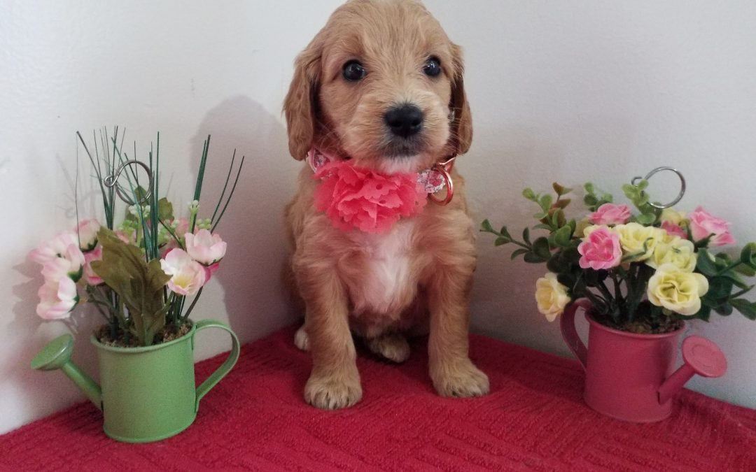 Rose, miniature, F1 goldendoodle female puppy, dewormed, vaccinated, microchipped, vet checked, hypoallergenic, non shedding, 1 year health guarantee,  $ 1300
