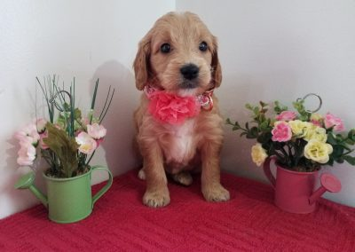 Rose, miniature, F1 goldendoodle female puppy, dewormed, vaccinated, microchipped, vet checked, hypoallergenic, non shedding, 1 year health guarantee,  $ SOLD
