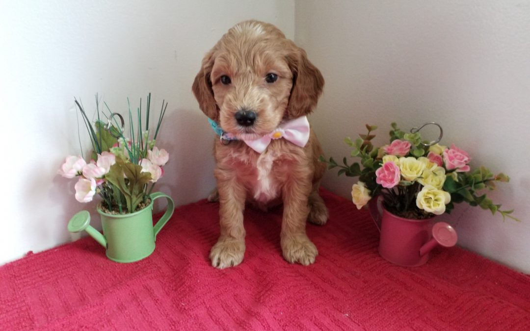 Lacey, miniature F1 goldendoodle female, dewormed, vaccinated, microchipped, vet checked, hypoallergenic, non shedding, 1 year health guarantee, $ 1300