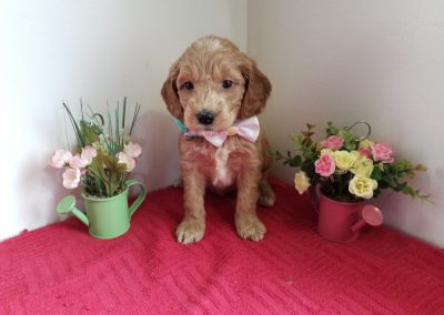 Lacey, miniature F1 goldendoodle female, dewormed, vaccinated, microchipped, vet checked, hypoallergenic, non shedding, 1 year health guarantee, $ SOLD