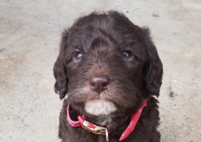 Micah, miniature F1B, labradoodle male puppy, dewormed, vaccinated, microchipped, vet checked, hypoallergenic, non shedding, 1 year health guarantee, ready…..  4/24/20…..  $ SOLD