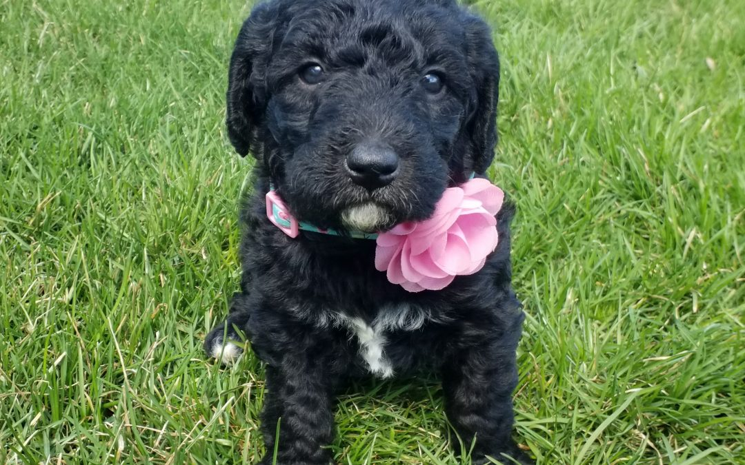 Velvet, miniature F1B labradoodle female puppy, dewormed, vaccinated, microchipped, vet checked, hypoallergenic, non shedding, 1 year health guarantee, 1 year health guarantee, ready…. 4/24/20…. $ SOLD