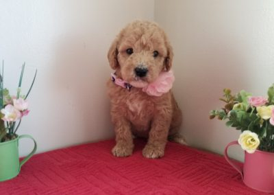 Tiara, miniature F1B labradoodle female puppy, dewormed, vaccinated, microchipped, vet checked, hypoallergenic, non shedding, 1 year health guarantee, ready….. 4/24/20….. $ SOLD