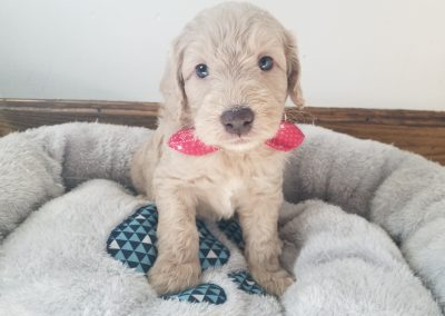 Beau, miniature F1B labradoodle male puppy, dewormed, vaccinated, microchipped, vet checked, hypoallergenic, non shedding, 1 year health guarantee, ready…..4/24/20….. $ SOLD