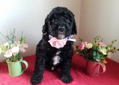 Jada, miniature F1B labradoodle female black  and white puppy, dewormed, vaccinated, microchipped, vet checked, hypoallergenic, non shedding, 1 year health guarantee….. ready 4/24/20….. $ SOLD