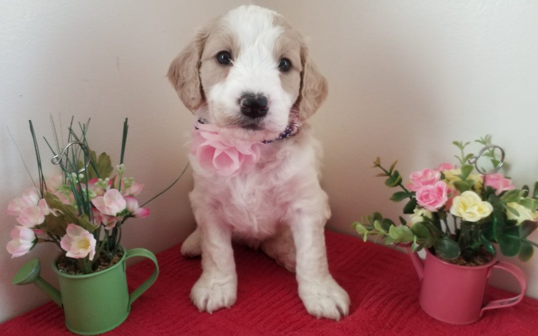 Fawn, miniature F1B goldendoodle female puppy, dewormed, vaccinated, microchipped, vet checked, hypoallergenic, non shedding, 1 year health guarantee, ready….. 5/1/20….. $ SOLD