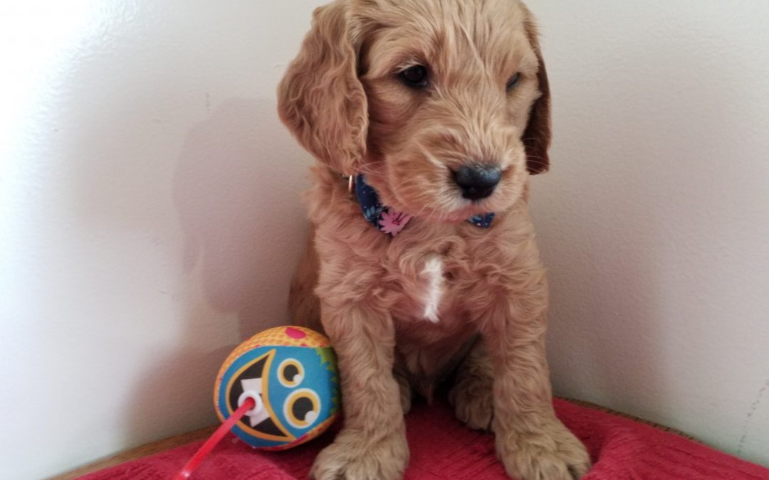 Tiger, miniature F1B goldendoodle male puppy, dewormed, vaccinated, microchipped, vet checked, hypoallergenic, non shedding, 1 year health guarantee, ready…. 5/1/20 ….. $ SOLD