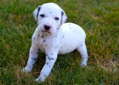 Gabby, AKC registered Dalmatian female, black and white, vet checked, BAER hearing tested, utd on deworming and vaccinations,.. SOLD
