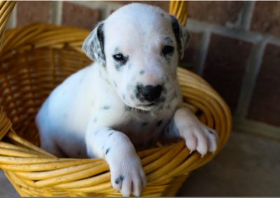 Candace, AKC registered Dalmatian female puppy, dewormed,vaccinated, microchipped, vet checked, BAER hearing tested,  $1,300