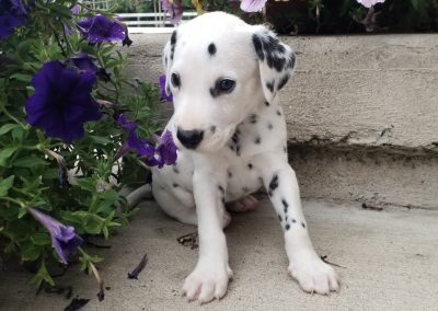 Rocco,  AKC registered Dalmatian male puppy, dewormed, vaccinated, microchipped, vet checked, BAER hearing tested, $ SOLD