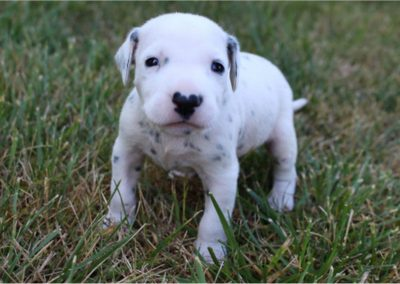 Champ, AKC registered Dalmatian male puppy, dewormed, vaccinated, microchipped, vet checked, BAER hearing tested, 1 year health guarantee, $SOLD