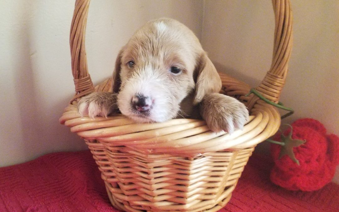 Tiara, miniature F1B labradoodle female puppy, dewormed, vaccinated, microchipped, vet checked, hypoallergenic, non shedding, $ SOLD