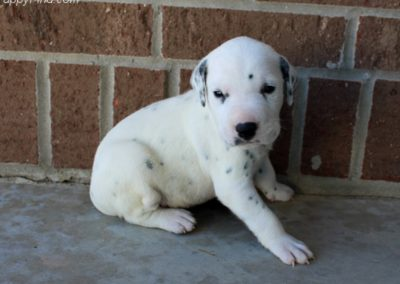 Winston, AKC registered, black and white, Dalmatian male puppy, dewormed, vaccinated, microchipped, vet checked, BAER hearing tested, $SOLD