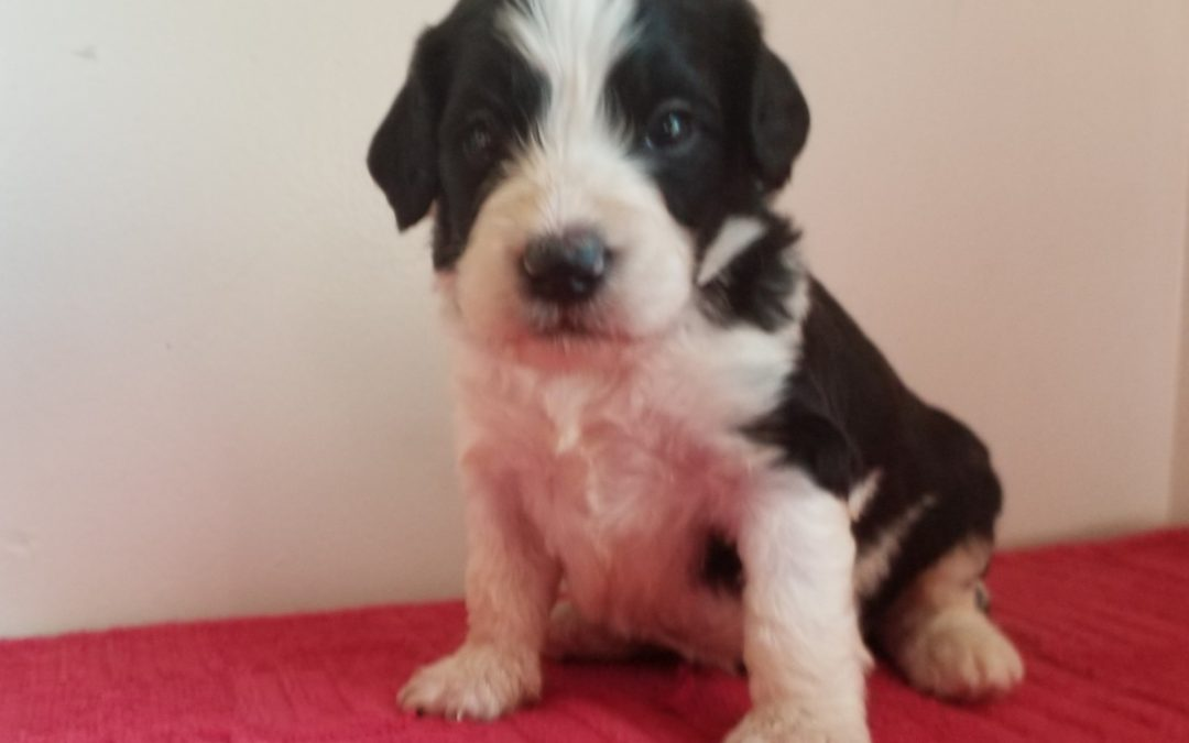 Cooper, mini F1B, labradoodle male puppy, dewormed, vaccinated, microchipped, vet checked, hypoallergenic, non shedding, $ SOLD