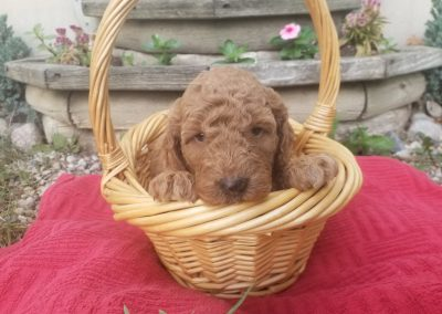 Faith, mini/medium, F1B labradoodle female puppy, dewormed, vaccinated, microchipped, vet checked, hypoallergenic, non shedding, 1 year health guarantee, $SOLD