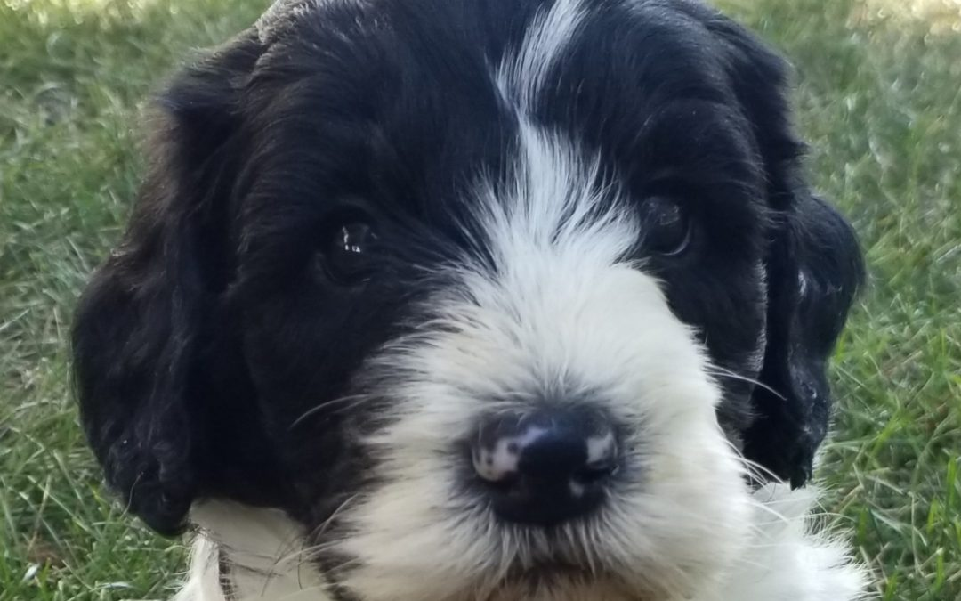 Oscar, mini/ medium, F1B labradoodle male puppy, dewormed, vaccinated, microchipped, vet checked, hypoallergenic, non shedding, 1 year health guarantee, $SOLD